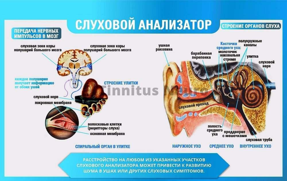 Схема строения слухового анализатора