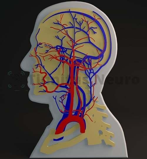 Строение сосудистой сети головы и шеи