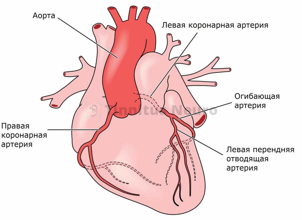 Так проходят правая и левая коронарные артерии