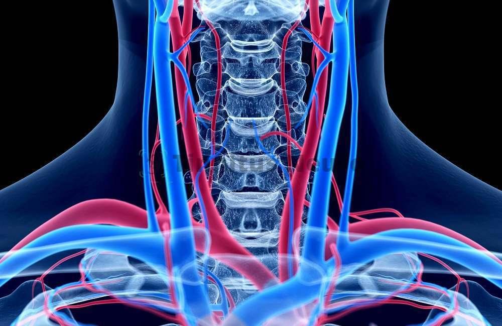 Анатомия подключичных артерий