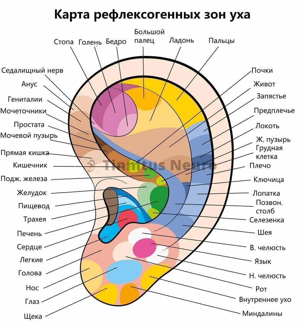 На ухе располагается множество точек для рефлексотерапии